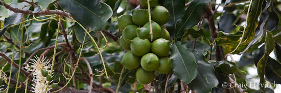 Nearly mature macadamia nuts on the tree.