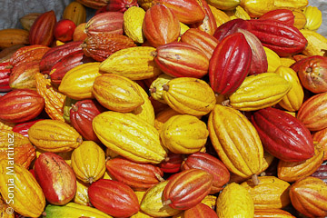 Cacao pods ready for processing.