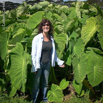 Jerri Di Pietro of GMO free Kauai see hawaiiseed.org for more on efforts in Hawai'i to keep taro GMO free.