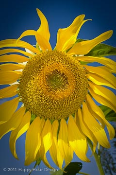 Is there anything more cheerful than a sunflower?