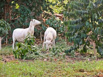 Hair sheep grazing in a Kona coffee orchard for ground cover maintenance.