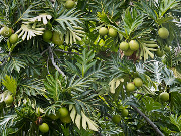 'Ulu trees are loaded with fruit in Kona this summer.