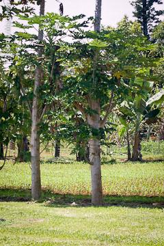 New sweet corn crop sprouting between rows of papayas and bananas.