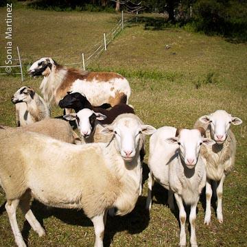 Hair sheep mow the grass.