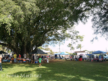 The old Banyan trees at the Hawi market provide comfortable shade.