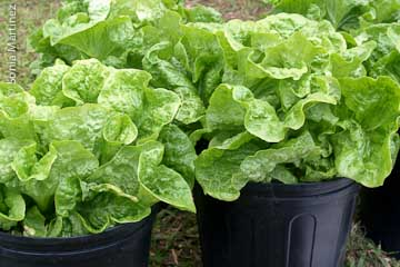 Fresh lettuce by Ke'ei Mauka Coffee Farms.