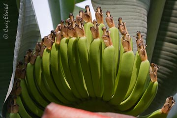 Young bananas forming (variety 'Chinese').