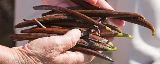 Vanilla beans in the process of curing, Honaunau, Hawaii.