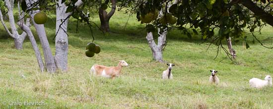Hair sheep grazing in Ka'u citrus/avocado orchard.