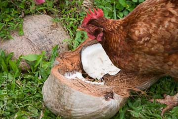 Chickens get to eat surplus farm produce, such as coconut meat.