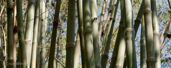 Bamboo can provide food, fodder, medicine, and a multitude of building and craft materials.