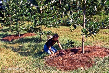 Sheeting mulching around a fruit tree.