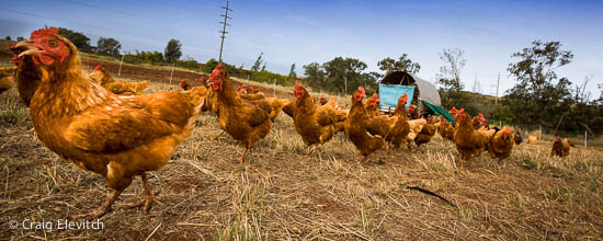 Chickens on the run at Maui chicken farm.